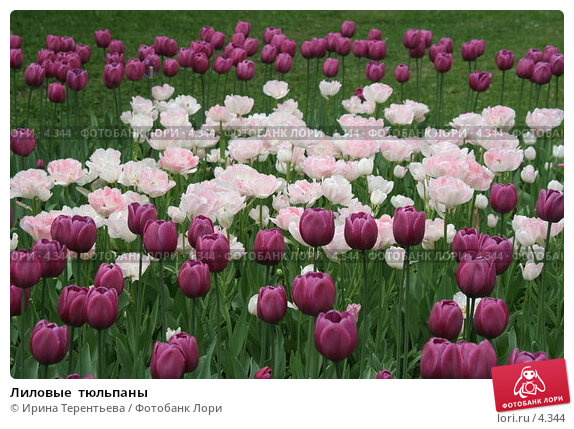Лиловые  тюльпаны, эксклюзивное фото № 4344, снято 29 мая 2006 г. (c) Ирина Терентьева / Фотобанк Лори