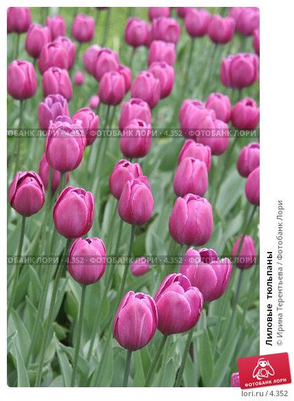 Лиловые  тюльпаны, эксклюзивное фото № 4352, снято 29 мая 2006 г. (c) Ирина Терентьева / Фотобанк Лори