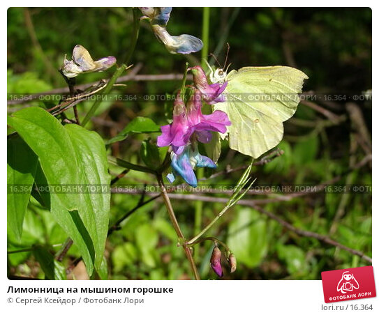 Лимонница на мышином горошке, фото № 16364, снято 22 мая 2006 г. (c) Сергей Ксейдор / Фотобанк Лори