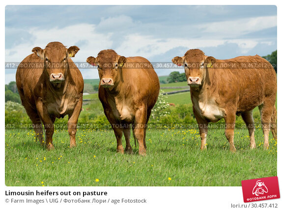 Limousin heifers out on pasture. Стоковое фото, фотограф Farm Images \ UIG / age Fotostock / Фотобанк Лори