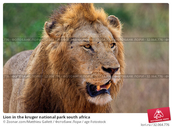 Lion in the kruger national park south africa. Стоковое фото, фотограф Zoonar.com/Matthieu Gallett / age Fotostock / Фотобанк Лори
