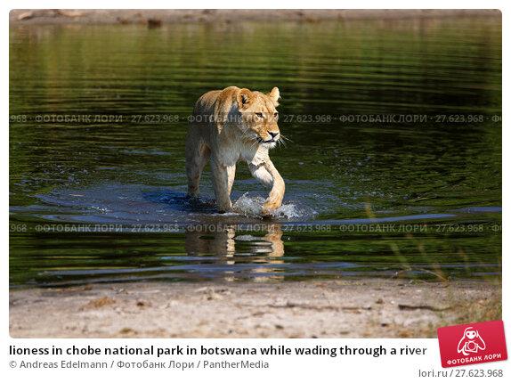 Купить «lioness in chobe national park in botswana while wading through a river», фото № 27623968, снято 19 июля 2019 г. (c) PantherMedia / Фотобанк Лори