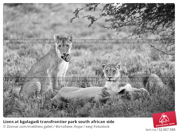 Lions at kgalagadi transfrontier park south african side. Стоковое фото, фотограф Zoonar.com/matthieu gallet / easy Fotostock / Фотобанк Лори