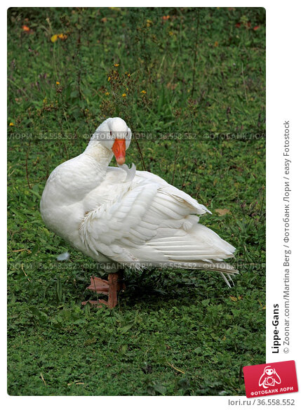 Lippe-Gans. Стоковое фото, фотограф Zoonar.com/Martina Berg / easy Fotostock / Фотобанк Лори