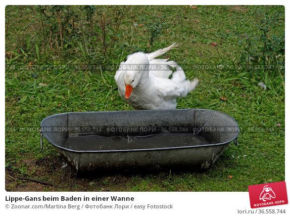 Lippe-Gans beim Baden in einer Wanne. Стоковое фото, фотограф Zoonar.com/Martina Berg / easy Fotostock / Фотобанк Лори