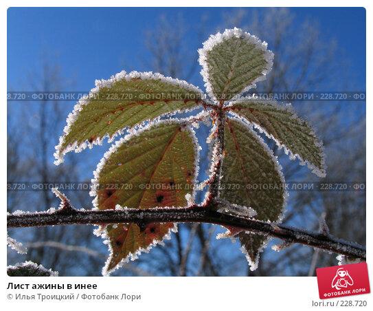 Лист ажины в инее, фото № 228720, снято 15 января 2006 г. (c) Илья Троицкий / Фотобанк Лори