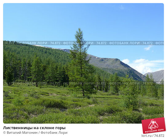 Лиственницы на склоне горы, фото № 74872, снято 22 июня 2007 г. (c) Виталий Матонин / Фотобанк Лори