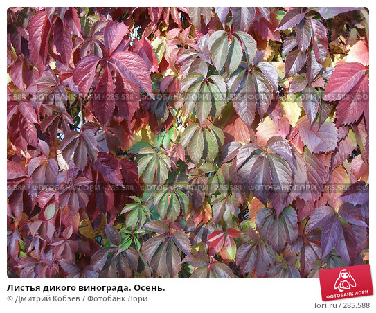 Листья дикого винограда. Осень., фото № 285588, снято 29 сентября 2007 г. (c) Дмитрий Кобзев / Фотобанк Лори