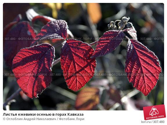 Листья ежевики осенью в горах Кавказа, фото № 307480, снято 25 ноября 2003 г. (c) Оглоблин Андрей Николаевич / Фотобанк Лори