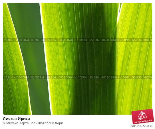 Листья Ириса, эксклюзивное фото № 55836, снято 11 июня 2007 г. (c) Михаил Карташов / Фотобанк Лори