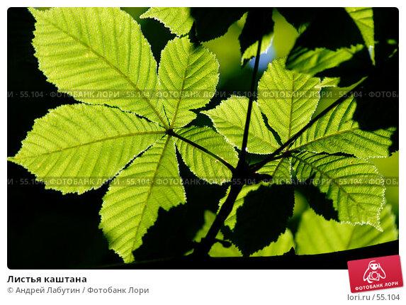 Листья каштана, фото № 55104, снято 24 июня 2007 г. (c) Андрей Лабутин / Фотобанк Лори