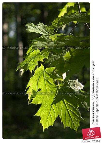 Листья клена, подсвеченные солнцем, фото № 67984, снято 20 мая 2007 г. (c) Влад Нордвинг / Фотобанк Лори