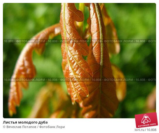 Листья молодого дуба, фото № 10808, снято 14 мая 2004 г. (c) Вячеслав Потапов / Фотобанк Лори