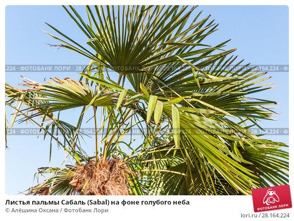 Купить «Листья пальмы Сабаль (Sabal) на фоне голубого неба», фото № 28164224, снято 26 сентября 2015 г. (c) Алёшина Оксана / Фотобанк Лори