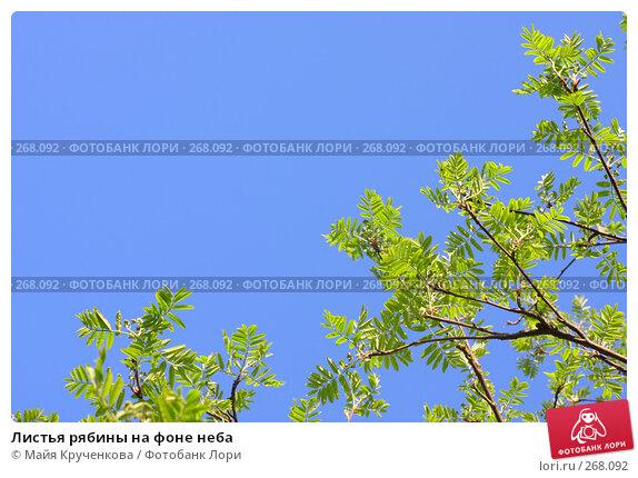 Листья рябины на фоне неба, фото № 268092, снято 27 апреля 2008 г. (c) Майя Крученкова / Фотобанк Лори