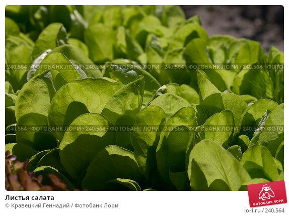 Листья салата, фото № 240564, снято 26 мая 2017 г. (c) Кравецкий Геннадий / Фотобанк Лори