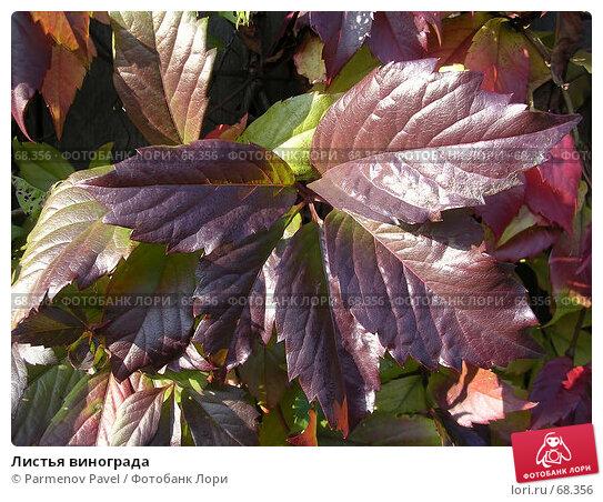 Листья винограда, фото № 68356, снято 20 сентября 2006 г. (c) Parmenov Pavel / Фотобанк Лори