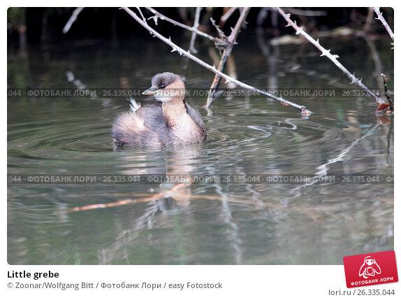 Купить «Little grebe», фото № 26335044, снято 19 марта 2018 г. (c) easy Fotostock / Фотобанк Лори
