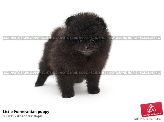 Little Pomeranian puppy. Стоковое фото, фотограф Okssi / Фотобанк Лори