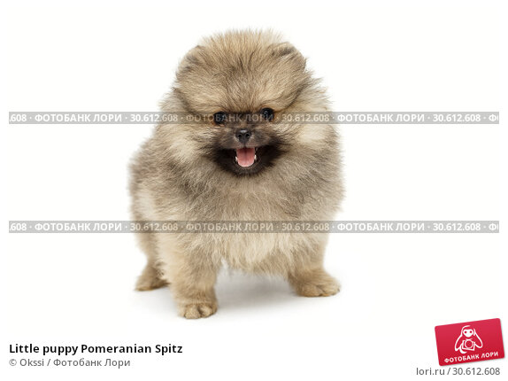 Купить «Little puppy Pomeranian Spitz», фото № 30612608, снято 10 апреля 2019 г. (c) Okssi / Фотобанк Лори