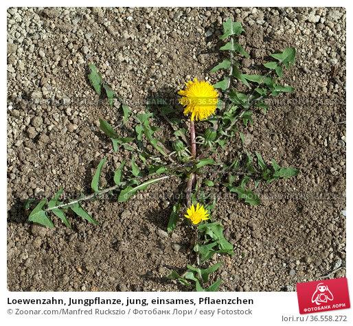 Loewenzahn, Jungpflanze, jung, einsames, Pflaenzchen. Стоковое фото, фотограф Zoonar.com/Manfred Ruckszio / easy Fotostock / Фотобанк Лори