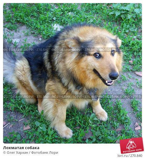 Лохматая собака, фото № 270840, снято 18 мая 2007 г. (c) Олег Хархан / Фотобанк Лори