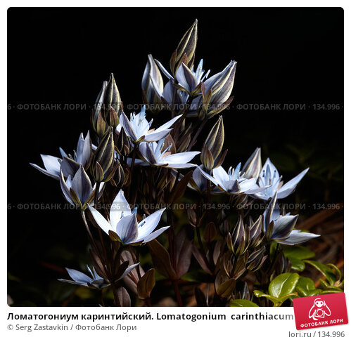 Ломатогониум каринтийский. Lomatogonium  carinthiacum, фото № 134996, снято 15 августа 2006 г. (c) Serg Zastavkin / Фотобанк Лори