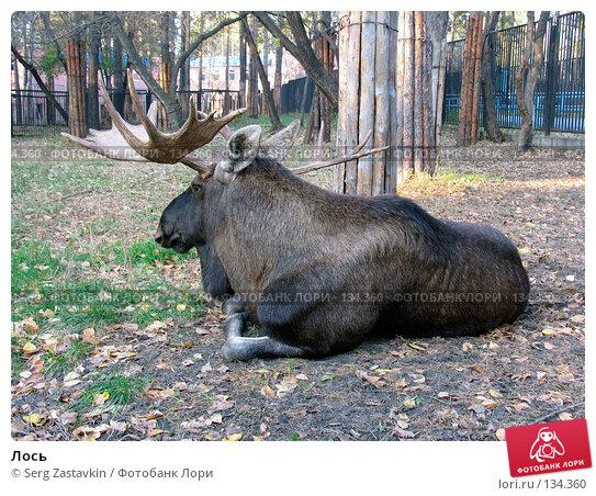 Лось, фото № 134360, снято 10 октября 2004 г. (c) Serg Zastavkin / Фотобанк Лори