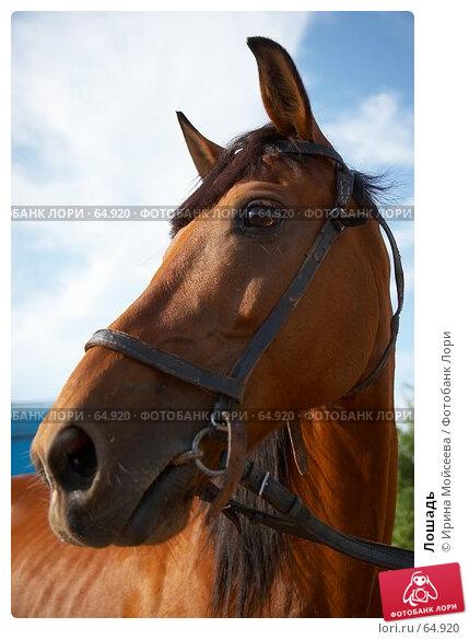 Лошадь, эксклюзивное фото № 64920, снято 17 июня 2007 г. (c) Ирина Мойсеева / Фотобанк Лори