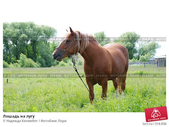 Лошадь на лугу, фото № 314836, снято 10 июня 2007 г. (c) Надежда Келембет / Фотобанк Лори