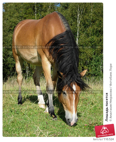 Лошадь пасется, фото № 110524, снято 5 сентября 2007 г. (c) Анастасия Некрасова / Фотобанк Лори