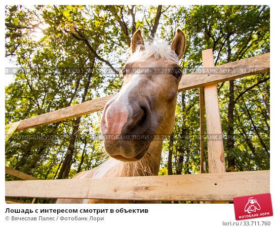 Купить «Лошадь с интересом смотрит в объектив», фото № 33711760, снято 5 сентября 2019 г. (c) Вячеслав Палес / Фотобанк Лори