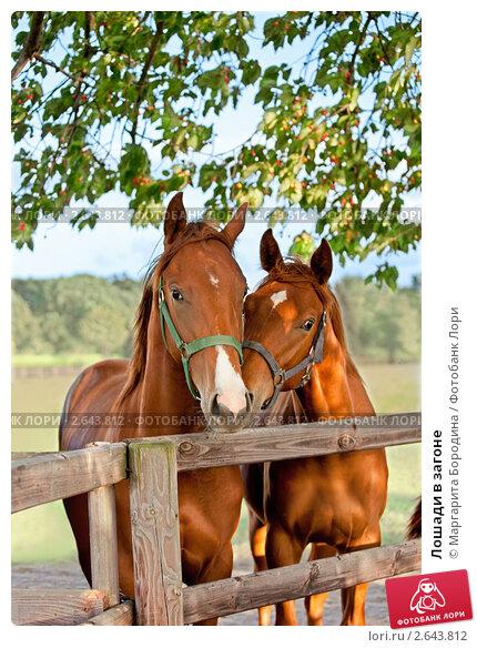 Купить «Лошади в загоне», фото № 2643812, снято 23 февраля 2019 г. (c) Маргарита Бородина / Фотобанк Лори