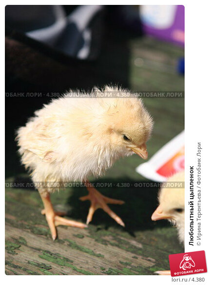 Любопытный цыпленок, эксклюзивное фото № 4380, снято 8 мая 2006 г. (c) Ирина Терентьева / Фотобанк Лори