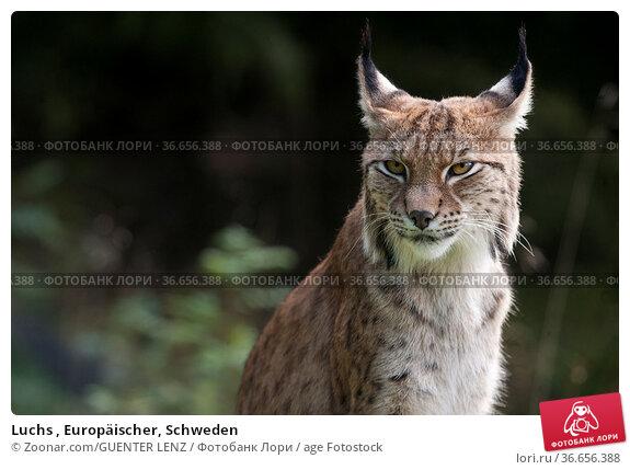 Luchs , Europäischer, Schweden. Стоковое фото, фотограф Zoonar.com/GUENTER LENZ / age Fotostock / Фотобанк Лори