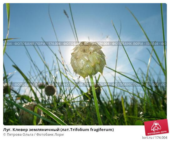 Луг. Клевер земляничный (лат.Trifolium fragiferum), фото № 174004, снято 12 августа 2007 г. (c) Петрова Ольга / Фотобанк Лори