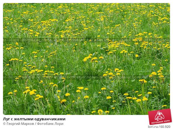 Луг с желтыми одуванчиками, фото № 60920, снято 25 мая 2007 г. (c) Георгий Марков / Фотобанк Лори