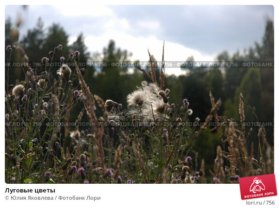 Луговые цветы, фото № 756, снято 4 августа 2005 г. (c) Юлия Яковлева / Фотобанк Лори