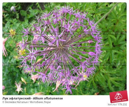 Лук афлатунский - Allium aflatunense, фото № 179232, снято 24 июня 2006 г. (c) Беляева Наталья / Фотобанк Лори