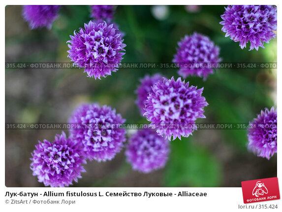 Лук-батун - Allium fistulosus L. Семейство Луковые - Alliaceae, фото № 315424, снято 8 июня 2008 г. (c) ZitsArt / Фотобанк Лори
