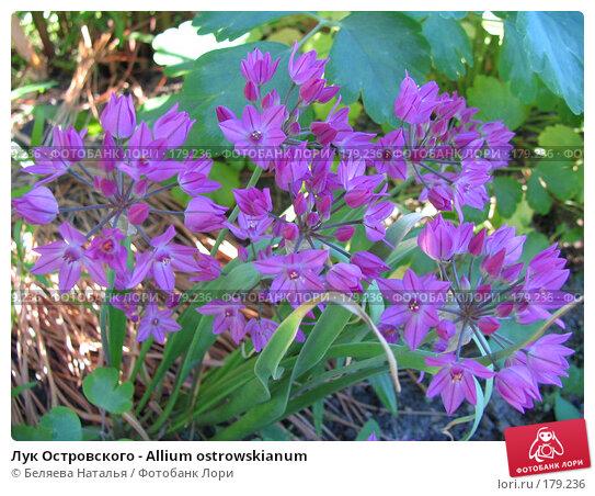 Лук Островского - Allium ostrowskianum, фото № 179236, снято 27 июня 2006 г. (c) Беляева Наталья / Фотобанк Лори