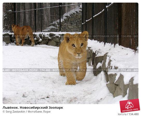 Львёнок. Новосибирский Зоопарк, фото № 134480, снято 7 ноября 2004 г. (c) Serg Zastavkin / Фотобанк Лори