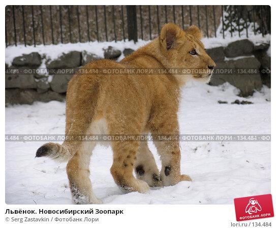 Львёнок. Новосибирский Зоопарк, фото № 134484, снято 7 ноября 2004 г. (c) Serg Zastavkin / Фотобанк Лори