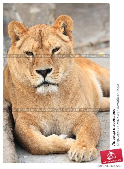 Львица в зоопарке, эксклюзивное фото № 324540, снято 28 апреля 2008 г. (c) Дмитрий Нейман / Фотобанк Лори