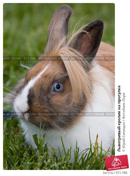 Купить «Львогривый кролик на прогулке», фото № 311196, снято 31 мая 2008 г. (c) Юрий Синицын / Фотобанк Лори