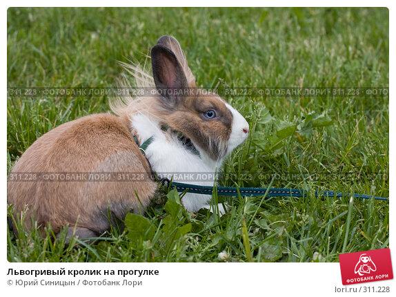 Львогривый кролик на прогулке, фото № 311228, снято 31 мая 2008 г. (c) Юрий Синицын / Фотобанк Лори