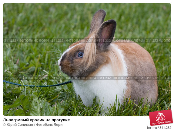 Львогривый кролик на прогулке, фото № 311232, снято 31 мая 2008 г. (c) Юрий Синицын / Фотобанк Лори