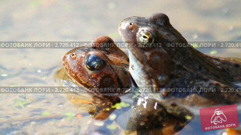 Купить «Лягушки в пруду», видеоролик № 2720412, снято 16 июля 2019 г. (c) Алексас Кведорас / Фотобанк Лори
