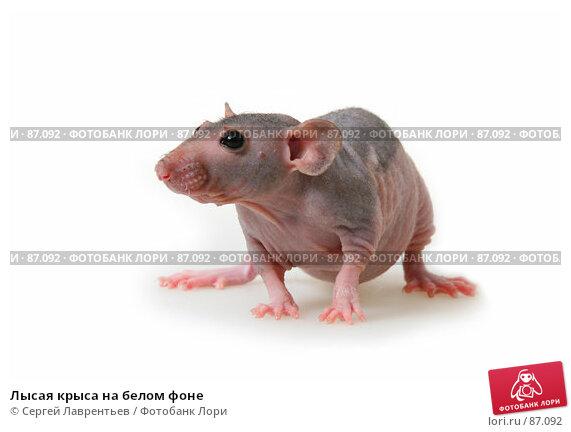 Лысая крыса на белом фоне, фото № 87092, снято 23 сентября 2007 г. (c) Сергей Лаврентьев / Фотобанк Лори