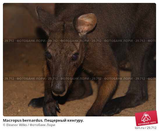 Macropus bernardus. Пещерный кенгуру., фото № 29712, снято 15 апреля 2007 г. (c) Eleanor Wilks / Фотобанк Лори